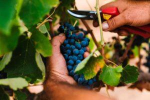 יקב רמת הגולן ענבים